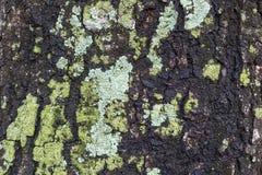 Fundo da textura da casca de árvore Fotografia de Stock