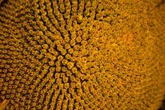 Teste padrão espiral no centro do fim do girassol que mostra acima a textura bonita com ordenadamente arranjo fotos de stock