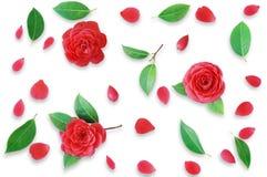 Teste padrão floral feito de camélias vermelhas e das folhas verdes, ramos Imagens de Stock