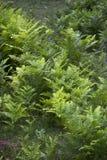 Teste padrão fresco dos ferns Foto de Stock