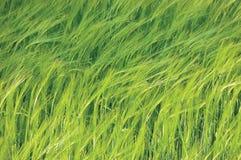 Teste padrão horizontal do fundo do campo selvagem comum novo fresco da cevada do verde, vulgare L do Hordeum Conceito orgânico d Imagem de Stock