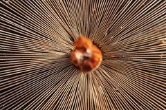 Teste padrão na natureza Procera de Macrolepiota do cogumelo de parasol fotografia de stock royalty free