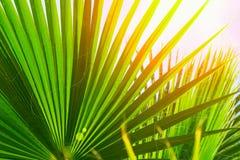 Teste padrão natural das grandes folhas pontudo redondas da palmeira no fundo claro do céu azul Alargamento dourado da luz de Sun Imagem de Stock Royalty Free