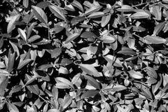 Teste padrão natural do arbusto da cor preto e branco Imagens de Stock