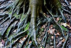 Teste padrão surreal das raizes de uma árvore de faia americana Fotos de Stock Royalty Free