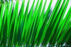 Teste padrão tropical bonito do fundo da natureza Folha de palmeira pontudo listrada Cor verde fresca vibrante Escapes da luz sol fotos de stock royalty free