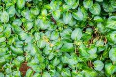 Teste padrão verde das raizes das folhas Imagens de Stock