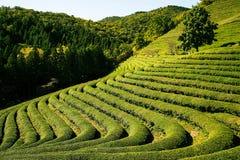 Teste padrão verde do jardim da folha (mar Imagem de Stock Royalty Free