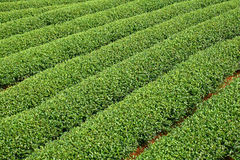 Teste padrão verde do jardim da folha (mar Fotos de Stock Royalty Free