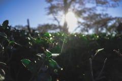 Teste padrão verde do jardim da folha (mar fotografia de stock