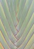 Teste padrão verde do peciole da árvore do viajante da palma Fotografia de Stock