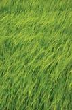 Teste padrão vertical do fundo do campo selvagem comum novo fresco da cevada do verde, vulgare L do Hordeum Conceito orgânico da  Imagens de Stock Royalty Free