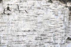 Teste padr?o da casca de vidoeiro com as listras do vidoeiro preto na casca de vidoeiro branco fotos de stock