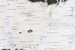 Teste padr?o da casca de vidoeiro com as listras do vidoeiro preto na casca de vidoeiro branco imagem de stock royalty free
