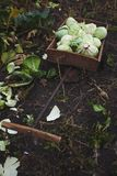 Teste tagliate di cavolo organico in un carretto della mano del giardino, verticalmente Agricoltura naturale immagine stock