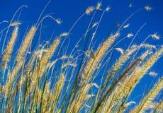 Tester av gräs i solen på en bakgrund för blå himmel Royaltyfri Foto