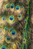 Testes padrões coloridos dos milhares de pássaros bonitos Pássaro exótico Imagem vertical Teste padrão colorido das penas Cauda d Imagem de Stock Royalty Free