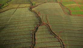 Testes padrões da antena do campo do abacaxi Foto de Stock Royalty Free