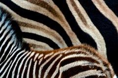 Testes padrões da zebra Imagem de Stock