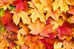 Testes padrões das folhas de bordo no parque do outono Imagem de Stock Royalty Free