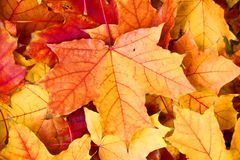 Testes padrões das folhas de bordo no parque do outono Imagens de Stock