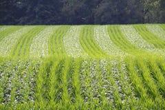 Testes padrões de amadurecimento do milho de campo Imagens de Stock