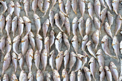 Testes padrões de peixes secados Foto de Stock Royalty Free