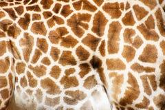 Testes padrões do girafa Fotos de Stock Royalty Free