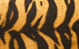 Testes padrões do tigre. Foto de Stock