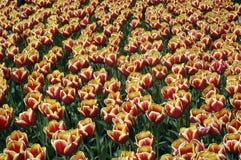 Testes padrões do Tulip Fotografia de Stock Royalty Free