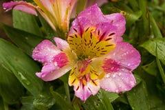 Testes padrões e detalhe coloridos da textura de flor de Alstromeria Fotos de Stock