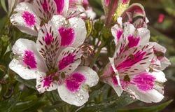 Testes padrões e detalhe coloridos da textura de flores de Alstromeria Imagens de Stock