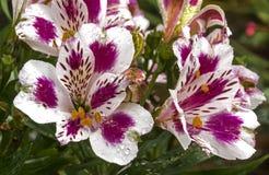Testes padrões e detalhe coloridos da textura de flores de Alstromeria Fotografia de Stock