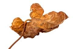 Testes padrões e texturas coloridos de deterioração de Autumn Leaf isolado Fotografia de Stock