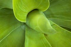 Testes padrões e texturas verdes das folhas da planta suculento Fotografia de Stock