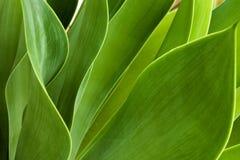Testes padrões e texturas verdes das folhas da planta suculento Fotos de Stock