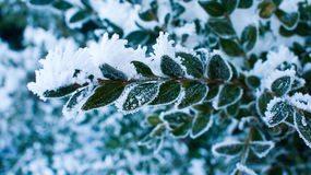 Testes padrões gelados nos arbustos Foto de Stock