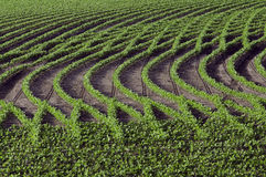 Testes padrões nas fileiras dos feijões de soja Imagem de Stock Royalty Free