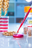 Testing of genetically modified wheat Stock Photo