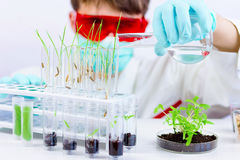 Testing gmo products. Environmental sciences. Scientist testing gmo plant in biological laboratory pouring it with water royalty free stock images