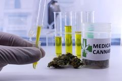 Testing marijuana buds for the extraction of cannabis oil. Testing marijuana buds for the extraction of medicinal oil royalty free stock images