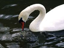 Testing the water. Swan tapping the surface of rippled Royalty Free Stock Image