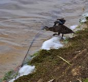 Testing the Waters: Pacific Black Duck royalty free stock photos