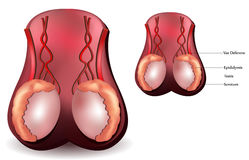 Testis. Male reproductive organs. Testis, scrotum and vessels Stock Image
