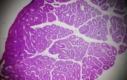 Testis sekcja pod mikroskopem Obrazy Stock