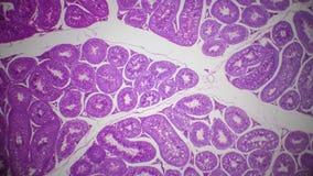 Testis sekcja pod mikroskopem obrazy royalty free