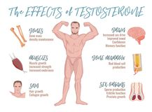 Testosterone Effects Infographics royalty free illustration