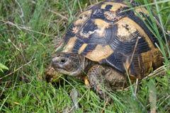 Testudo graeca. Land Turtle, Testudo graeca, in the grass stock photos