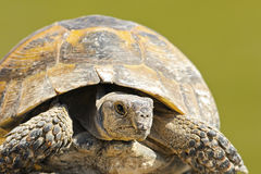 Testudo graeca close up Stock Photo