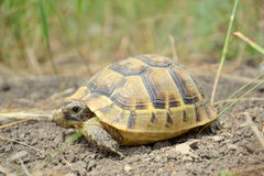 Testudo graeca ibera Royalty Free Stock Photography